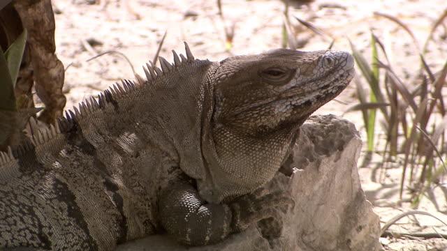 MS Shot of Mexican spinytail iguana (Ctenosaura pectinata) basking on shady rock, close up, near / Tulum, Quintana Roo, Mexico