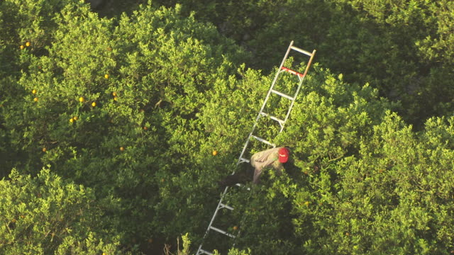 vídeos de stock, filmes e b-roll de ms aerial shot of migrant worker picking oranges from trees in collier county / florida, united states - migrant worker