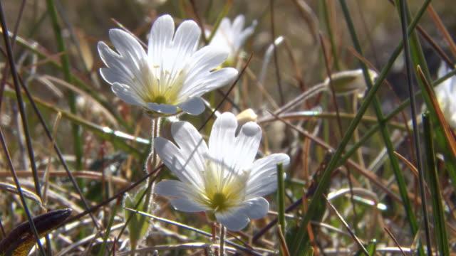cu shot of minnartia groenlandica flower blooming in arctic / kangerlussuaq, qeqqata, greenland - arktis stock-videos und b-roll-filmmaterial