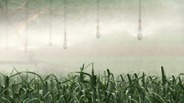 CU Shot of modern agriculture with Large irrigation sprinklers spraying water over lush crops / harod valley, Israel