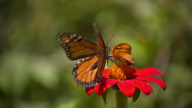 cu slo mo shot of monarch and julia heliconian orange butterfly feeding together on red flower / santa barbara, california, united states - invertebrate stock videos & royalty-free footage