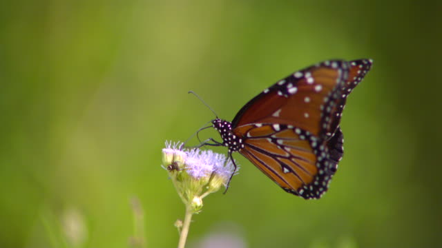 CU SLO MO Shot of Monarch butterfly flying away from purple flower / Santa Barbara, California, United States