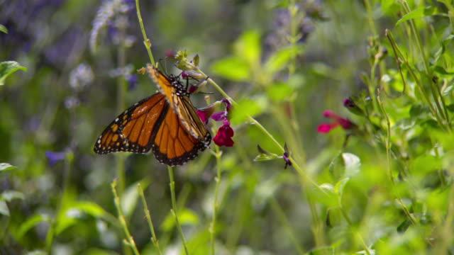 cu slo mo shot of monarch butterfly flying away to feeding on red flower / santa barbara, california, united states - utfällda vingar bildbanksvideor och videomaterial från bakom kulisserna