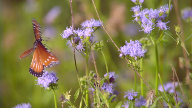 CU SLO MO Shot of Monarch butterfly flying from one purple flower to another / Santa Barbara, California, United States