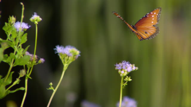 cu slo mo shot of monarch butterfly flying from one purple flower to another / santa barbara, california, united states - farfalla video stock e b–roll