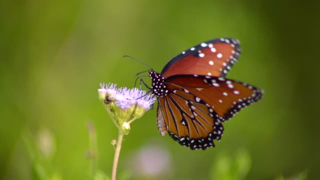 CU SLO MO Shot of Monarch butterfly on purple flower / Santa Barbara, California, United States
