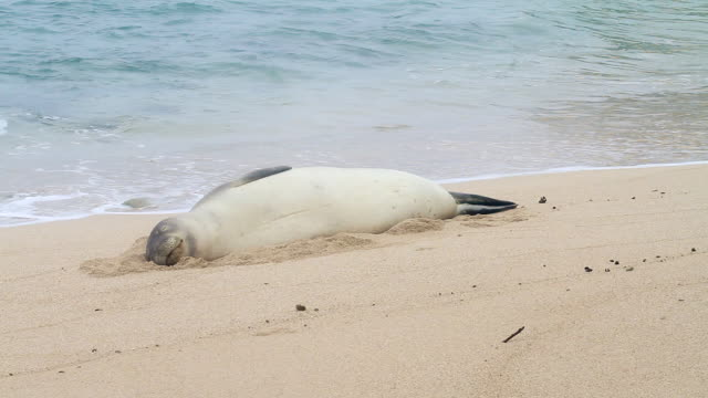 ms shot of monk seal lying in sand moving its flipper on beach near waves / oahu, hawaii, united states - wiese stock videos & royalty-free footage