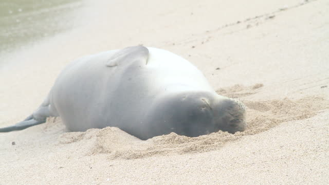 ms shot of monk seal lying in sand on beach near waves / oahu, hawaii, united states - wiese stock videos & royalty-free footage