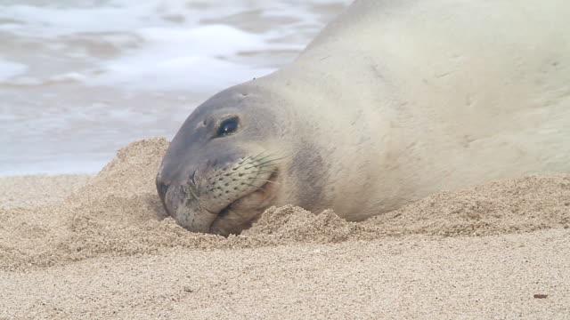 cu shot of monk seal moving its head and opens its eyes towards while lying on beach near waves / oahu, hawaii, united states - wiese stock videos & royalty-free footage