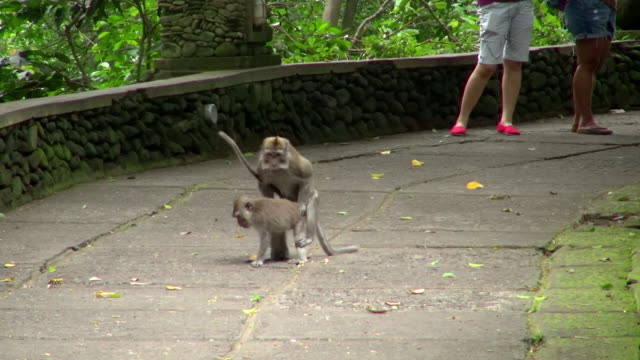 shot of monkey mating - human copulation stock videos and b-roll footage