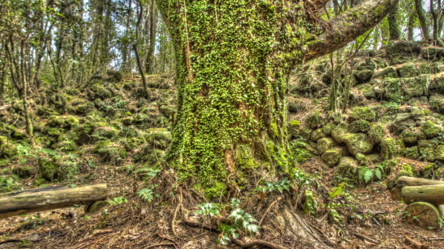 shot of mossy trees at gotjawal - root stock videos & royalty-free footage