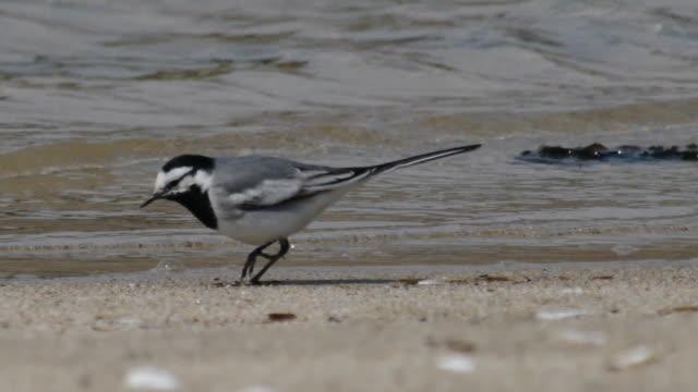 stockvideo's en b-roll-footage met shot of motacilla lugens searching prey on coastal feature - coastal feature