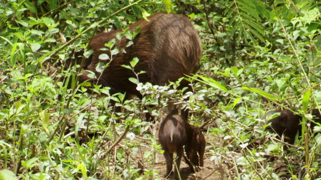 """""""MS TS Shot of Mother and baby hogs walking away / Assam, Golaghat, India"""""""