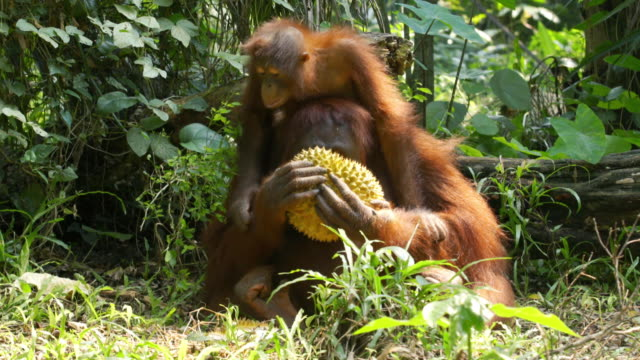 shot of mother and baby orangutans eating durian fruit in island of borneo - borneo stock-videos und b-roll-filmmaterial