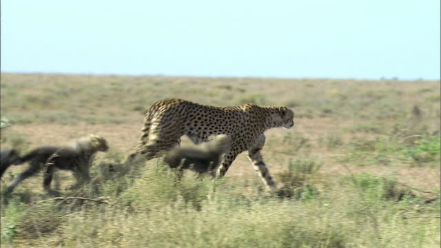Shot of mother Cheetah and its cubs at Serengeti