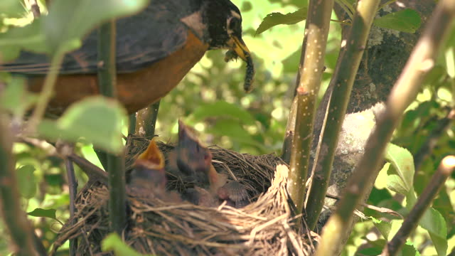 CU Shot of mother robin flies into her nest with insect and feeds it to one of three hungry chicks, She removes waste excreted by chick afterwards / Chelsea, Michigan, United States