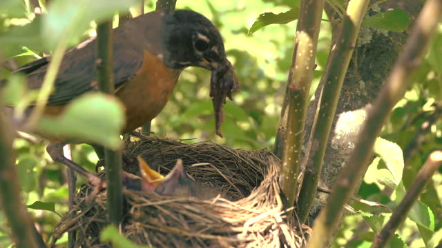 cu shot of mother robin flies into her nest with large worm and feeds part of it to each of three hungry chicks / chelsea, michigan, united states - jungvogel stock-videos und b-roll-filmmaterial