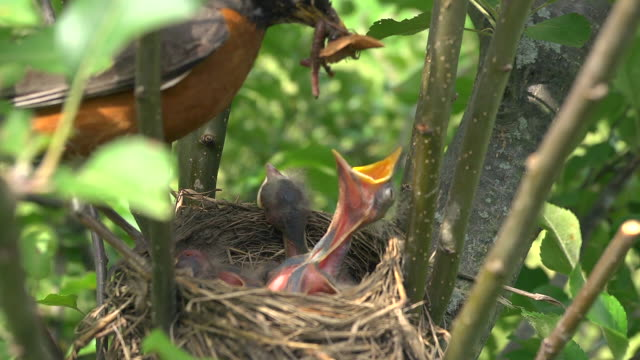 cu shot of mother robin flies into her nest with worm and feeds it to hungry chicks, she removes waste excreted by chicks afterwards / chelsea, michigan, united states - jungvogel stock-videos und b-roll-filmmaterial