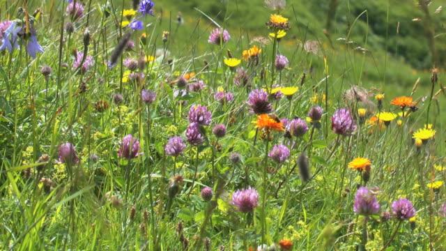ms shot of mountain flowers at mount fellhorn near allgau alps / oberstdorf, bavaria, germany - wiese stock-videos und b-roll-filmmaterial