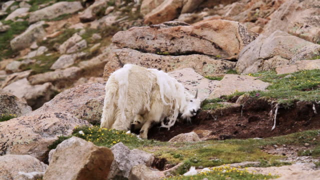 MS TS Shot Of Mountain Goat Billy Rubbing Fur On Rocks To Shed Off Winter Coat