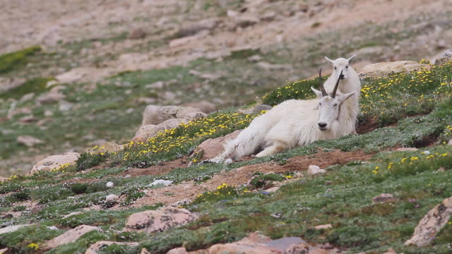 MS PAN Shot of Mountain goat (Oreamnos americanus) kid playing and jumping on nanny on tundra / Idaho springs, Colorado, United States