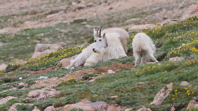 MS Shot of Mountain goat (Oreamnos americanus) kid playing and jumping with nanny on tundra / Idaho springs, Colorado, United States
