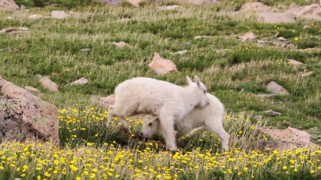 ms ts shot of mountain goat kids jumping and playing in alpine wildflowers / idaho springs, colorado, united states - goat stock videos and b-roll footage