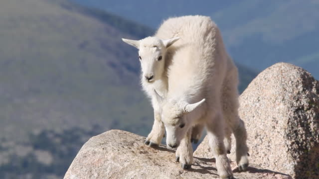 MS Shot of Mountain goat (Oreamnos americanus) kids plaing and juming on each other on boulder / Idaho springs, Colorado, United States