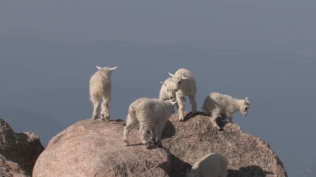 ms pan shot of mountain goat kids playing on rock / idaho springs, colorado, united states - 立つ点の映像素材/bロール