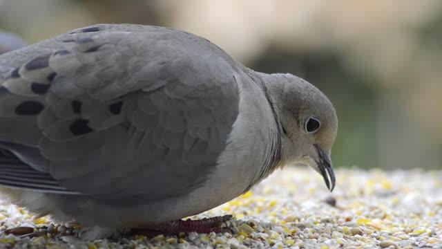 stockvideo's en b-roll-footage met ecu shot of mourning dove (zenaida macroura) pecks at seeds on feeding board / valparaiso, indiana, united states - pikken