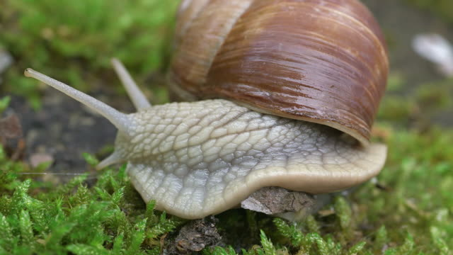 ecu shot of moving grapewine snail (helix pomatia) / kastel-staadt, rhineland-palatinate, germany - snail stock videos & royalty-free footage