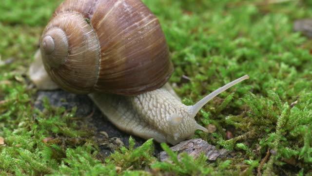 vídeos de stock, filmes e b-roll de ecu shot of moving grapewine snail (helix pomatia) / kastel-staadt, rhineland-palatinate, germany - gastrópode
