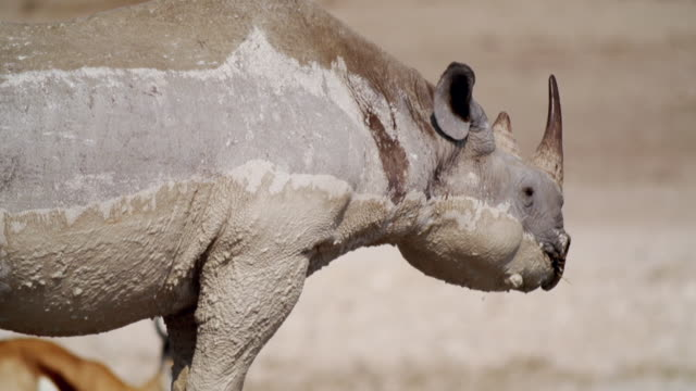 MS PAN Shot of Muddy Black Rhinoceros in savannah / Etosha National Park, Namibia