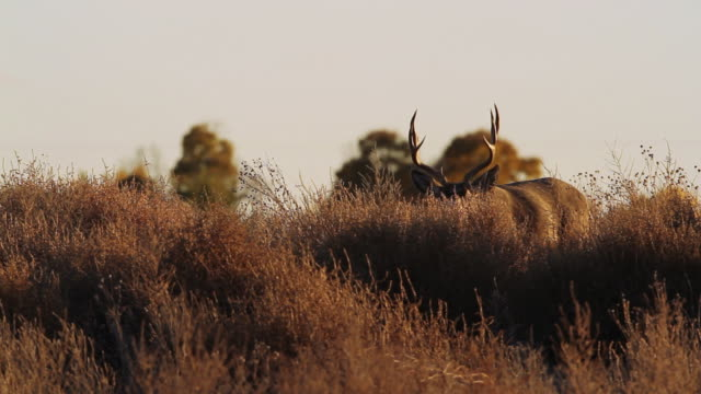 MS Shot of mule deer buck raises head up with beautiful fall foliage and sunset / Denver / Rocky Mountain Arsenal, Colorado, United States