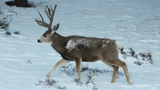 MS TS Shot of mule deer buck walking through snowy forest / Estes Park, Colorado, United States