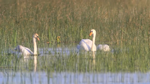 ms shot of mute swans (cygnus olor) swimming in danube delta wetlands / tulcea, danube delta, romania - mute swan stock videos & royalty-free footage