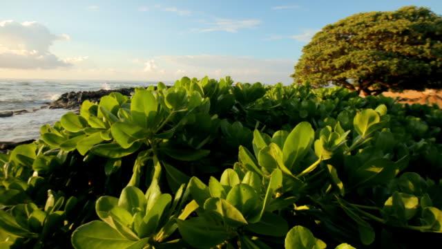 ms pan shot of naupaka plant and ocean at sunrise time / wailua, kauai, kauai, hawaii, united states - 自然美点の映像素材/bロール