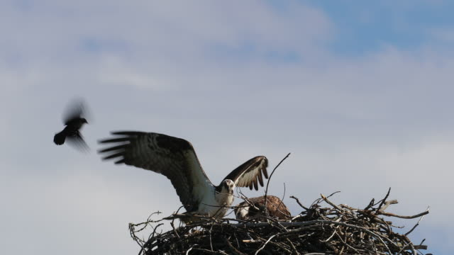 ts 4k shot of nesting osprey (pandion haliaetus) being harassed by redwing blackbirds - osprey stock videos & royalty-free footage