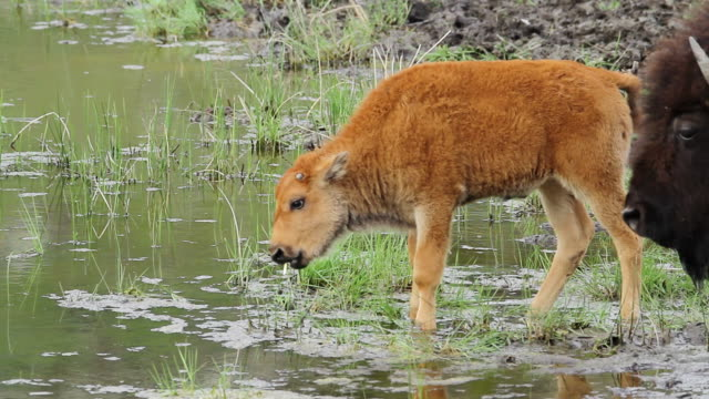 MS Shot of newborn bison calf (red dog) try's out some grass / Gardiner, Montana, United States