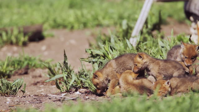 ms shot of newborn coyote pups (kits) come out from their den under historic log cabin / moose, wyoming, united states - medium group of animals stock videos & royalty-free footage