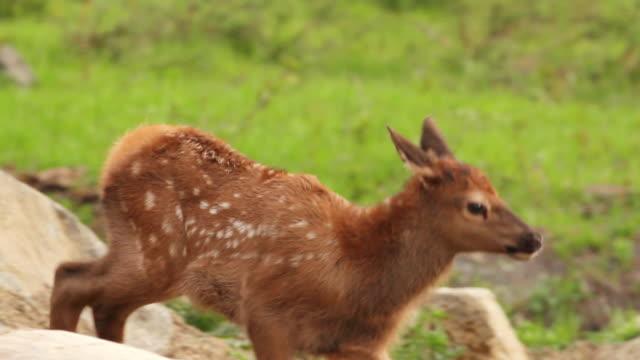 stockvideo's en b-roll-footage met cu ts shot of newborn elk calfstill wet and wabbally walk through herd / estes park, colorado, united states - estes park