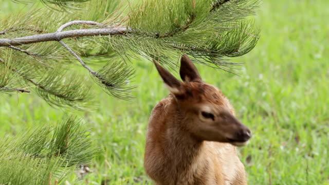 stockvideo's en b-roll-footage met cu shot of newborn elk calk nimbling on pine tree / estes park, colorado, united states - estes park