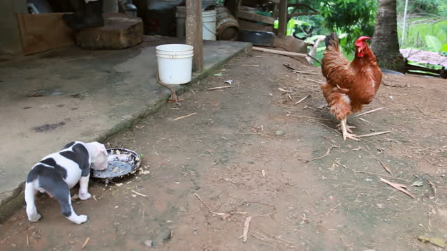 vídeos y material grabado en eventos de stock de ms shot of newborn pit bull puppy balances as he eating as rooster looking on / montezuma, punteranes, costa rica - kelly mason videos