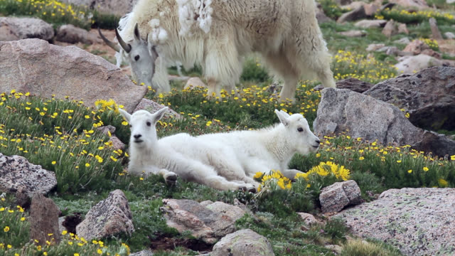 MS 4K shot of newborn rocky mountain goats (Oreamnos americanus) playing and interacting on the high mountain tundra