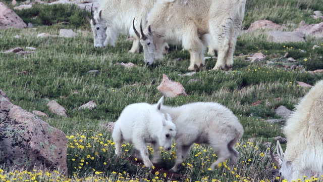 MS 4K shot of newborn rocky mountain goats (Oreamnos americanus) playing, jumping and interacting on the high mountain tundra