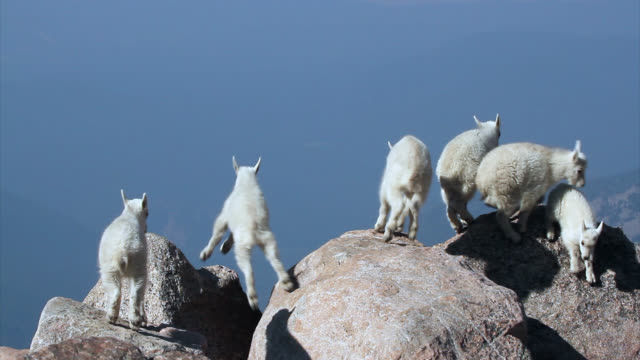 MS 4K shot of newborn rocky mountain goats (Oreamnos americanus) playing, jumping and interacting on the mountain peak