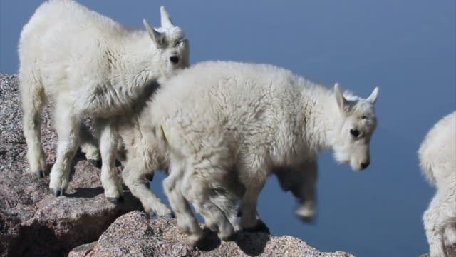 TS 4K shot of newborn rocky mountain goats (Oreamnos americanus) playing, jumping and interacting on the mountain peak
