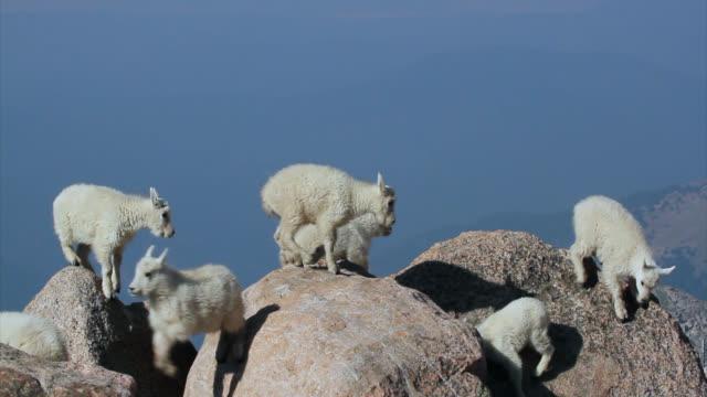 MS 4K shot of newborn rocky mountain goats (Oreamnos americanus) playing, jumping and interacting on the mountain peak