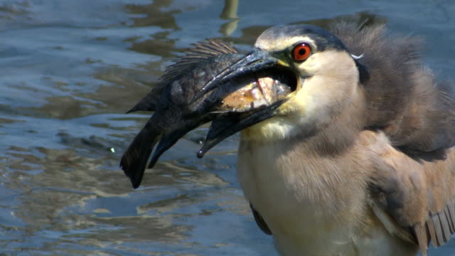 cu shot of night heron (nycticorax nycticorax) holding fish in its beak and eating / ma'ayan zvi, carmel, coast israel - bunter reiher stock-videos und b-roll-filmmaterial