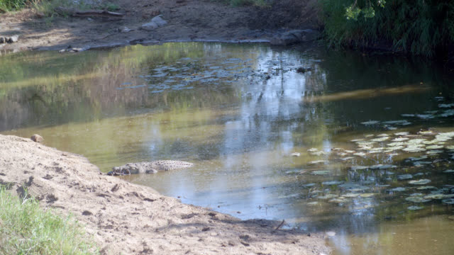 MS Shot of Nile crocodile (Crocodylus niloticus) swimming in river / Kruger National Park, Mpumalanga, South Africa